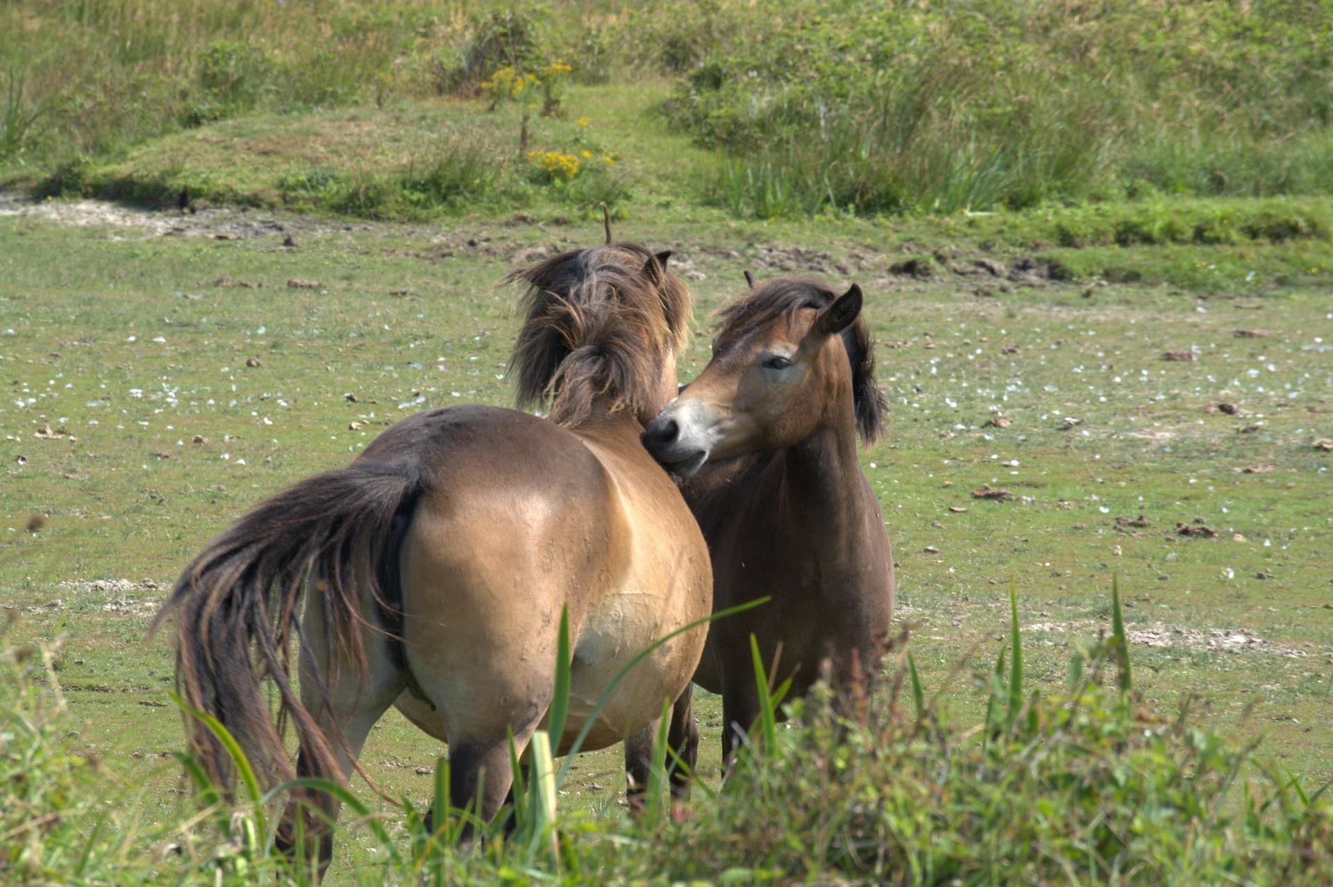 wild-horses-3555090_1920